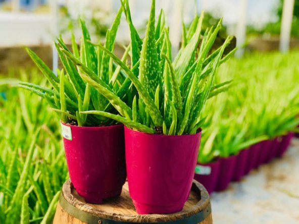 Aloe Veranın Faydaları Nelerdir?