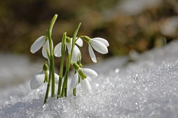 Kardelen Çiçeği